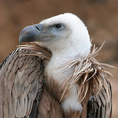 240px-Eagle_beak_sideview_A